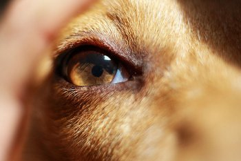 800px-Eye_of_a_dog.jpg