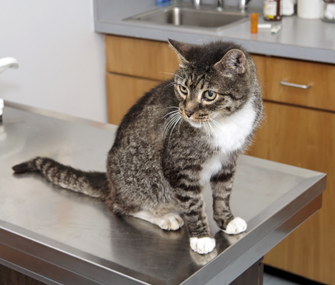 Cat with heartworm116005286.jpg