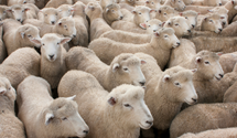 sheep live export.png