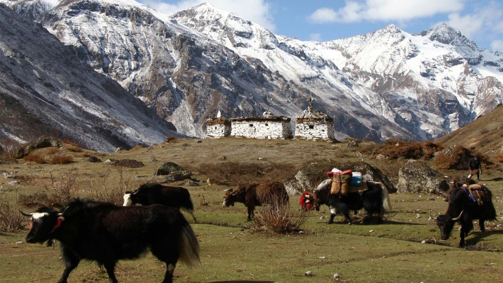 Yaks-carrying-supplies-in-the-high-Himalayas-1024x576.jpg